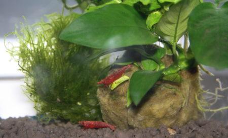 Garnelen inmitten Aquarienpflanzen