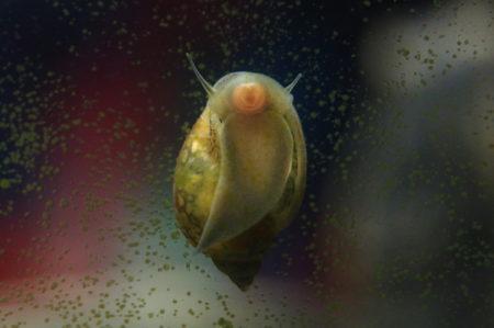 Spitzschlammschnecke im Aquarium