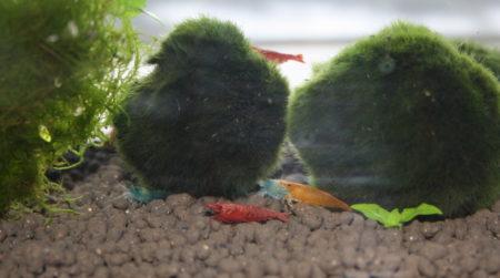 Verschiedene Garnelen in einem Aquarium