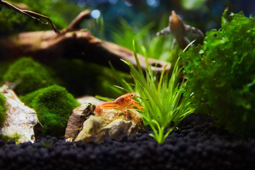 CPO Krebs Haltung im Aquarium