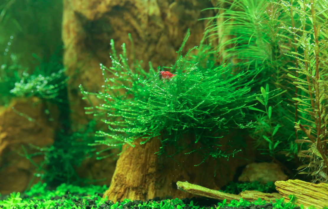 Garnelenhaltung - Garnele im Aquarium