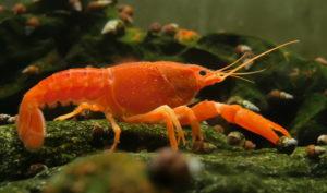 Krebse im Aquarium - Krebsarten im Überblick