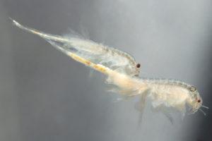 Der Salinenkrebs - artemia salina