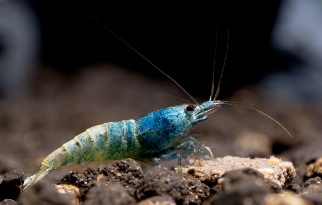 Farbe der Blue Bolt Garnele
