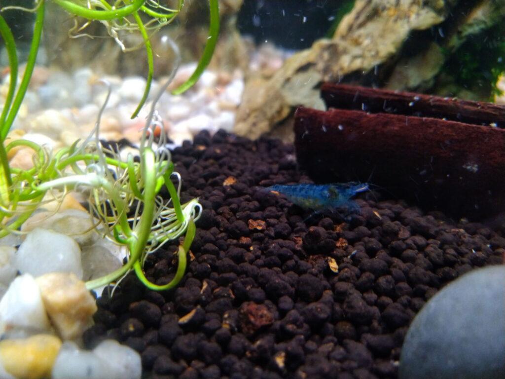Blue Jelly Garnelen im Aquarium halten