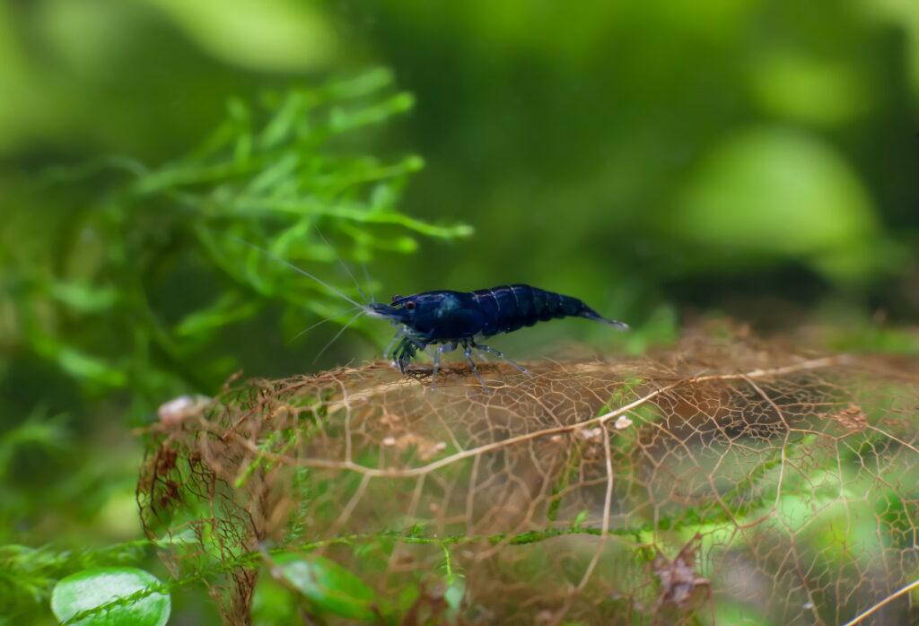 Haltung der Blue Rili Garnelen im Aquarium