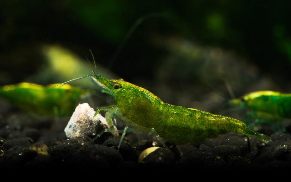Green Jade Garnele