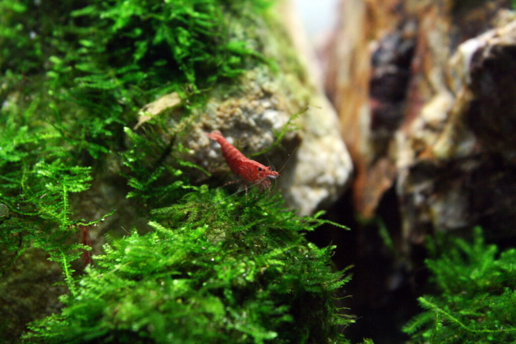 Haltung der Red-Fire Garnele