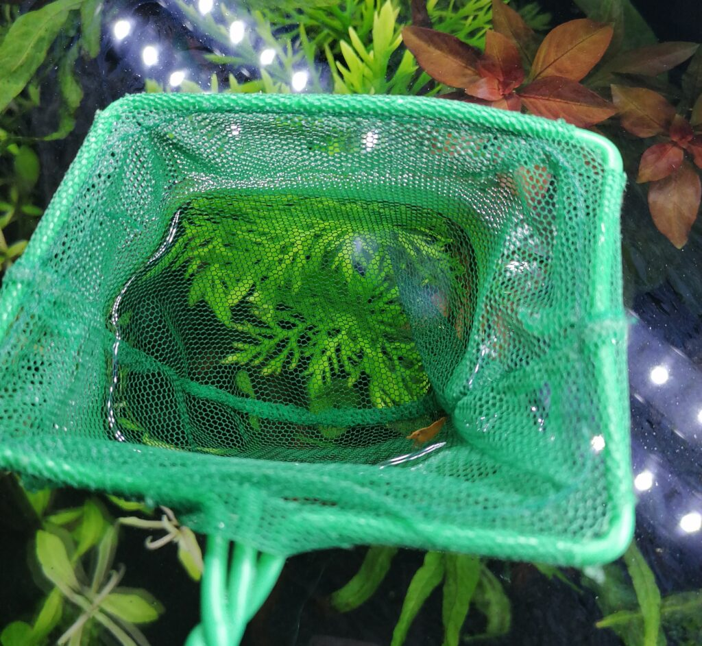 Garnelen in das Aquarium einsetzen