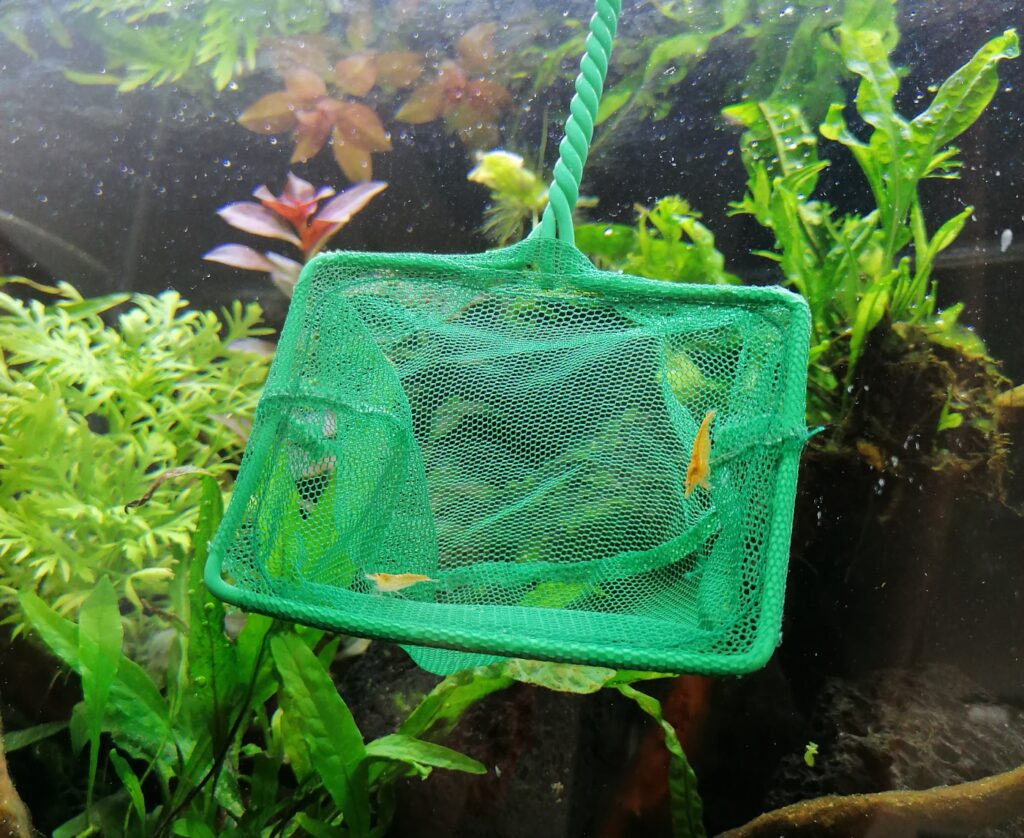 Garnelen dürfen in das Aquarium