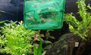 Ab wann Garnelen in das Aquarium einsetzen
