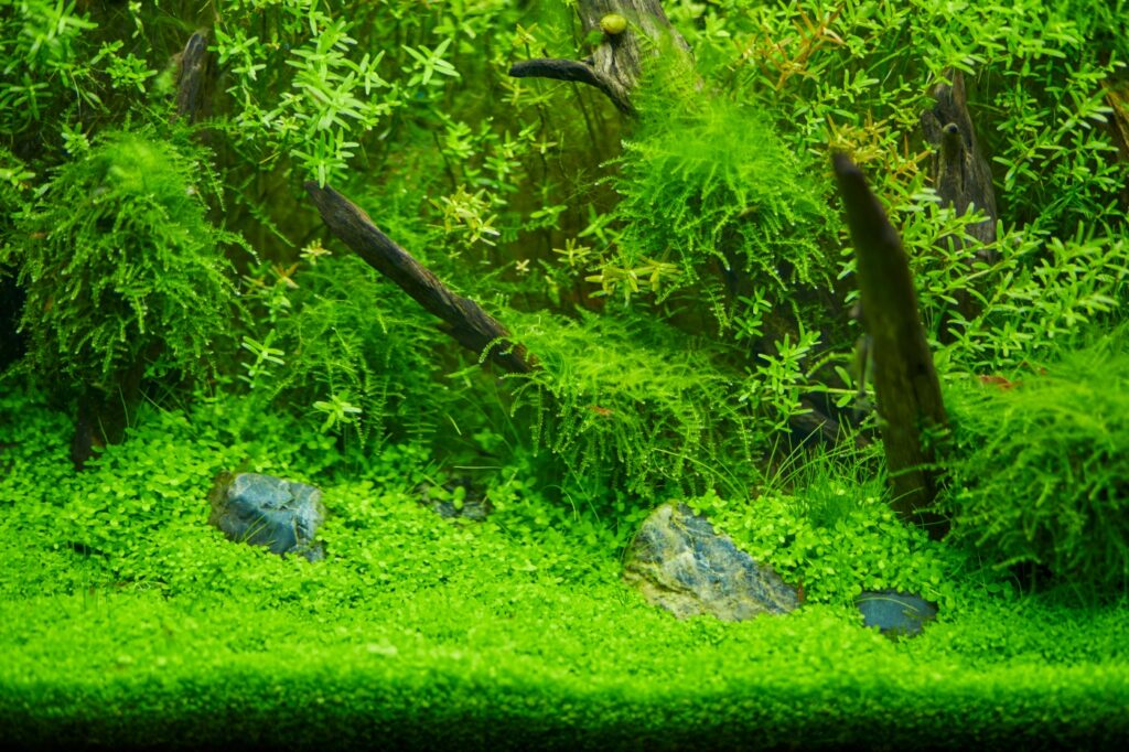Aquascaping mit Weeping Moos