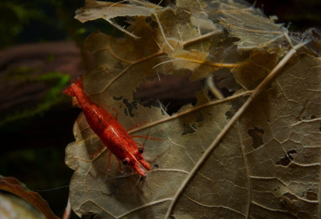 Garnelen fressen Laub