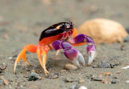 Haloween Krabbe
