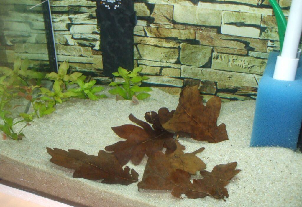 Eichenblätter im Aquarium
