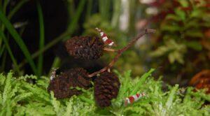 Erlenzapfen im Aquarium mit Garnelen